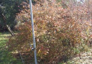 樹齢40年のブルーベリーの古木