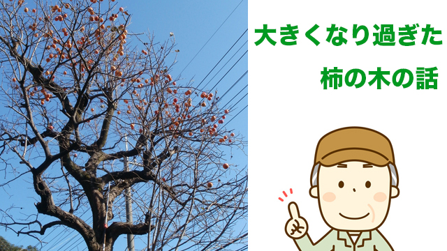 大きくなった柿の木の話
