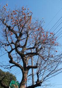 大きくなった柿の木
